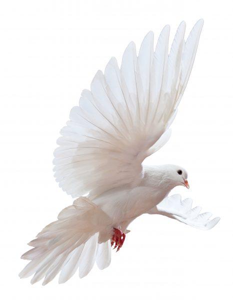verschijning van een witte duif