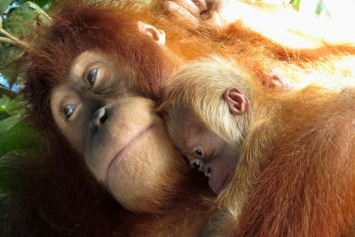 Support the Orangutan Project